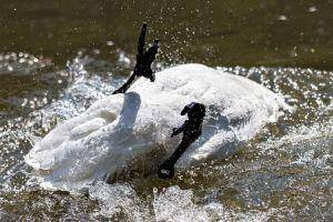 Taleb Releases a Dirty Swan Upon Bitcoin, Bitcoiners Were Fast to Clean It 101