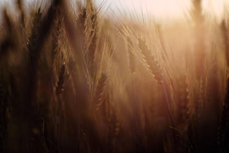 wheatfarming